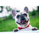 フレンチブルドックの子犬を飼いたい!特徴や性格、飼い方を教えて