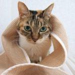 お風呂後にドライヤーで猫を乾かした方がいい理由と注意点