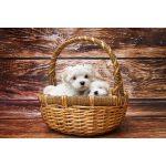 マルチーズの子犬を飼いたい!特徴や性格、飼い方を教えて