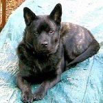 甲斐犬の子犬を飼いたい!特徴や性格、飼い方などを教えます!