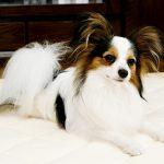パピヨンの子犬を飼いたい!特徴や性格、飼い方を教えて